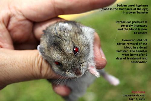 Roborovski hamster  Wikipedia